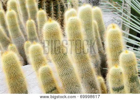 Closeup Of eriocactus Leninghausii (erio Cactus Leninghausii)