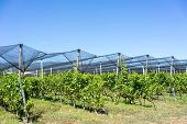 picture of hail  - Vineyard with modern system for irrigation and nets against hail - JPG