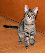 image of yellow tabby  - Tabby kitten with yellow eyes sitting on floor - JPG