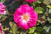 pic of rosa  - Pink rosa dumalis - JPG