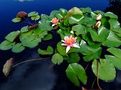 stock photo of lillies  - Clouds reflect in the ponds water - JPG