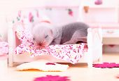 pic of ferrets  - Female ferret baby in the doll house sleeps on a little bed - JPG