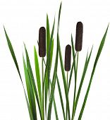 image of cattail  - green reed cane grass Isolated on white background - JPG