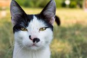 image of bengal cat  - Close up portrait of a black and white cat on park - JPG