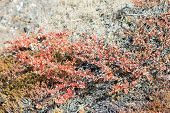 image of nana  - Betula nana dwarf birch in Greenland in autumn with red leaves and other plants around - JPG