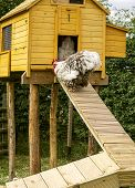 stock photo of hen house  - Rooster walking on a ramp into a hen house - JPG