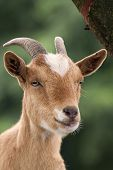 foto of loach  - Portrait of a goat - JPG