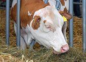 stock photo of dairy barn  - Cow eating hay in barn at farm  - JPG