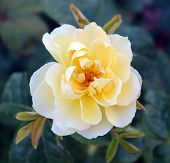 stock photo of puffy  - Beautiful park summer puffy Single  Rose with bud  - JPG