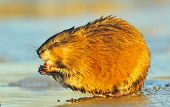 stock photo of muskrat  - Muskrat  - JPG