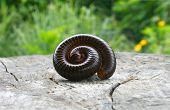 picture of millipede  - Millipede in perfect spiral form on wooden background - JPG