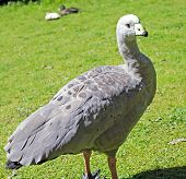 pic of ceres  - a large goose resident in southern Australia - JPG