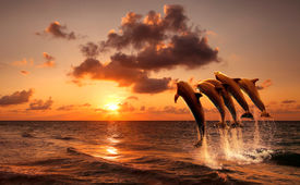 image of aquatic animals  - beautiful sunset with dolphins jumping - JPG