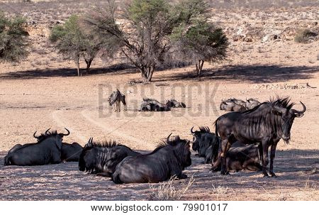 Wild (connochaetes Taurinus) Blue Wildebeest Gnu