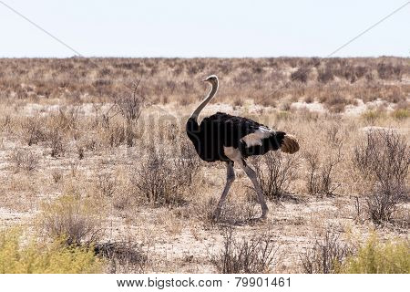 Ostrich Struthio Camelus, In Kgalagadi, South Africa