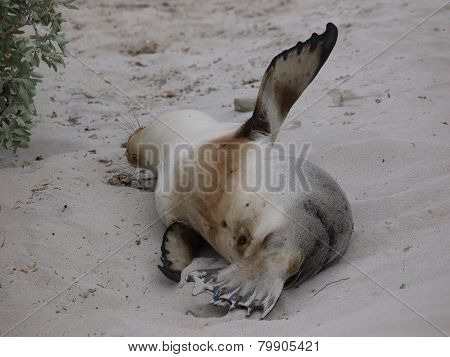 A sleeping Australian sea lion