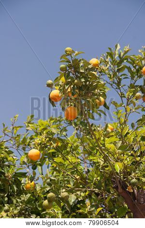 Orange trees - Citrus sinensis