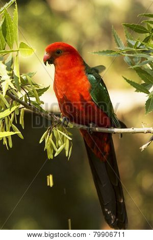 King Parrot in a tree