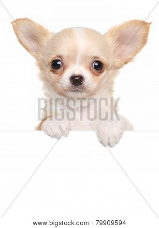 Chihuahua Puppy Above White Banner