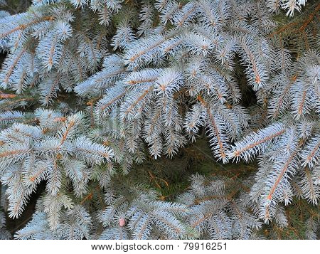 Branches Of Blue Spruce With Fluffy Needles
