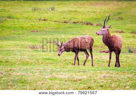 Deers In Richmond Park, London