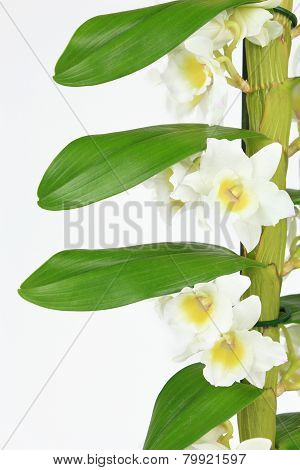 Dendrobium Orchid Isolated On White Background