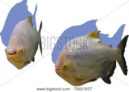 illustration with two piranha fishes isolated on white background