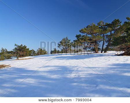 Pines On Slope
