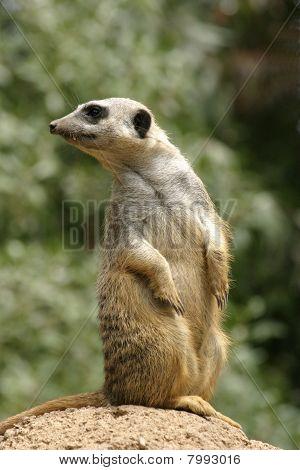 Meerkat Looking Over Shoulder
