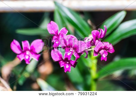 Pink Thai Royal Orchid Flower