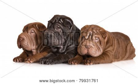 three adorable shar pei puppies