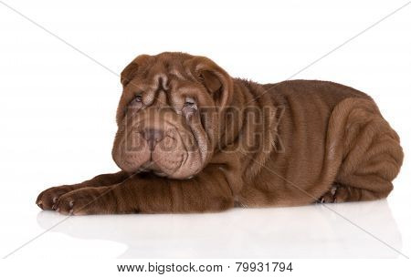 adorable brown shar pei puppy