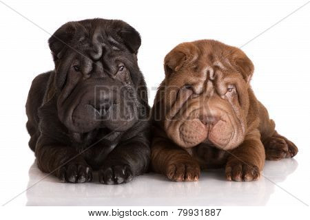 two adorable shar pei puppies