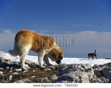 Dog In Mauntauon