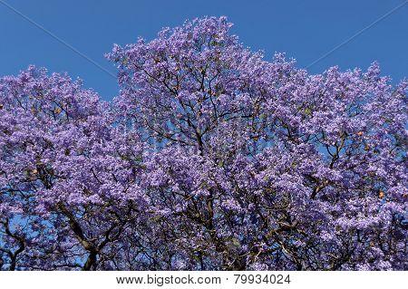 Jacaranda blossom in spring at Johannesburg street, RSA