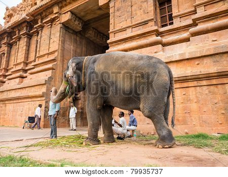 Thanjavour, India - February 13: An Elephant Blesses Unidentified Man Of At The Temple Brihadishwara