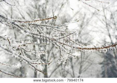 Frost On The Branches Of Trees