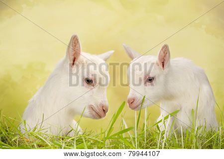 Newborn white baby milk goats in a meadow