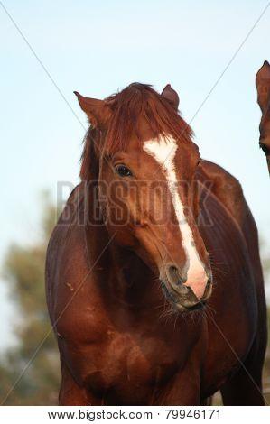 Chestnut Sport Horse Portrait In Herd