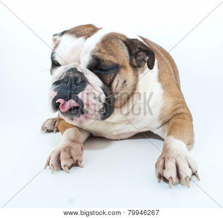 Silly Bulldog