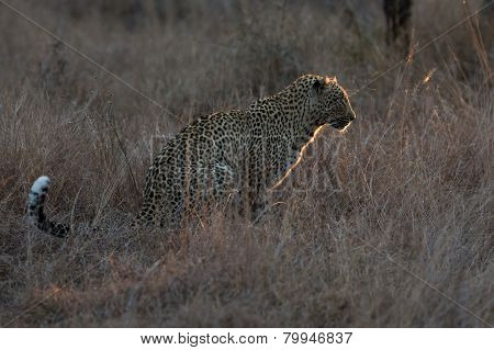 Leopard Sitting In Darkness Hunting Nocturnal Prey In A Spotlight