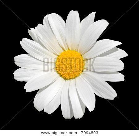 Osteospermum - White Daisy Isolated On Black Background