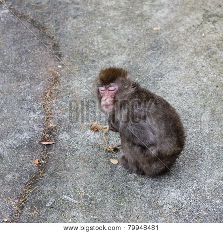 Dozing Japanese Macaque