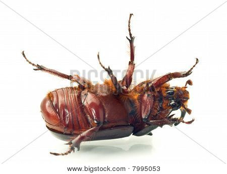 Macro Belly Of Rhinoceros Or Unicorn Beetle