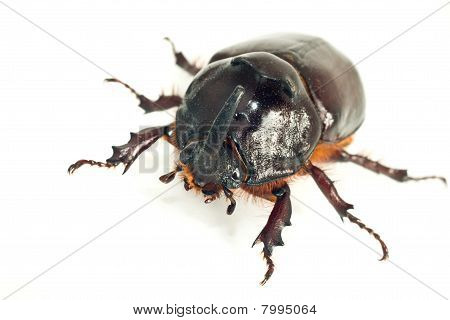 Macro Of Rhinoceros Or Unicorn Beetle