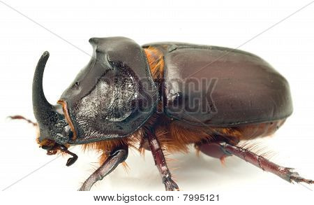 Side Macro View Of Rhinoceros Or Unicorn Beetle