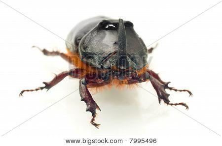 Front Macro View Of Rhinoceros Or Unicorn Beetle