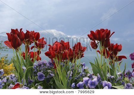 Tulips And Poppies On A Background Of Sky, Lake And Mountains. Switzerland, Montreux, Lake Geneva, A
