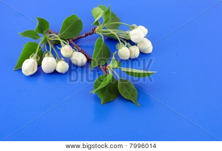 Twig Of Apple-tree With Flowers. Blue Background.