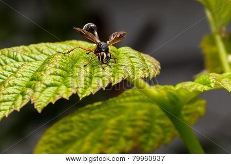 Physocephala rufipes